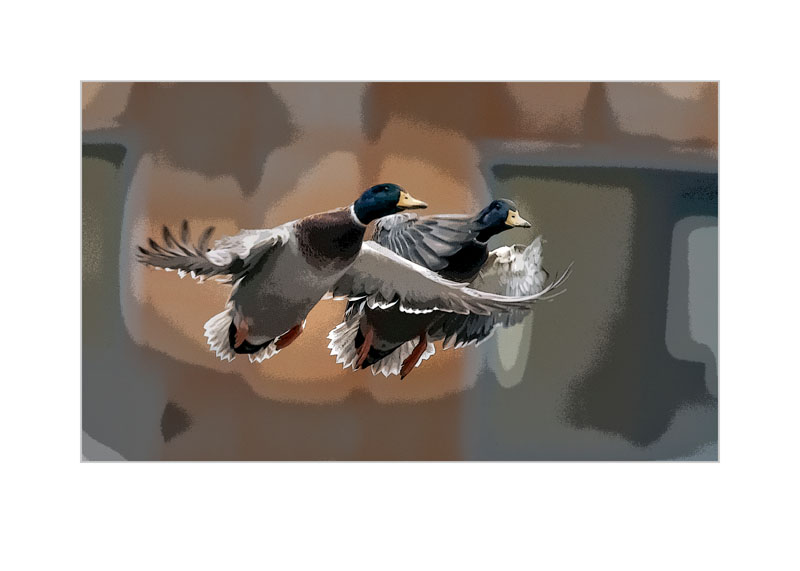 DSC_0580 amazing ducks
